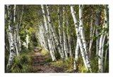A Walk Through the Birch Trees Art Print