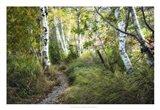 Birch Trees & Tall Grass Art Print