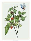 Cape Gooseberry I Art Print