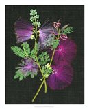 Calliandra Surinamensis I Art Print