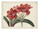 Amaryllis Splendor II Art Print