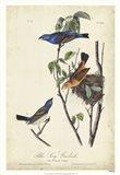 Blue Song Grosbeak Art Print