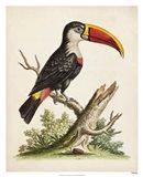 Edwards' Toucan Art Print