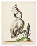Edwards' Cockatoo Art Print
