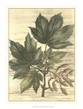 Weathered Maple Leaves II Art Print