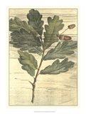 Weathered Oak Leaves II Art Print