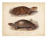 Antique Turtle Pair II Art Print