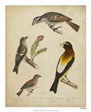 Bonapart Birds IV Art Print