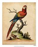 Edwards Parrots I Art Print