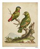 Edwards Parrots VI Art Print