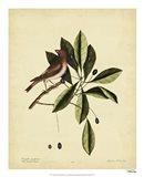 The Purple Finch, Pl. T41 Art Print