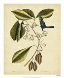 The Finch Creeper, Pl. T64 Art Print