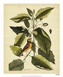 The Hood. Titmouse, Pl. T60 Art Print