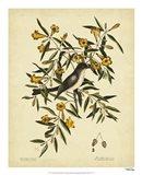 Cates. Black-capt Flycatch. Pl. T53 Art Print