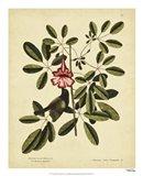 Bahama Sparrow, Pl. T37 Art Print