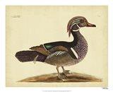 Summer Duck, Pl. T97 Art Print
