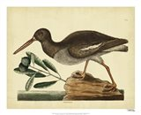 The Oyster Catcher, Pl. T85 Art Print