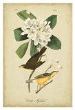 Audubon Canada Flycatcher Art Print