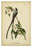 Audubon Fork-tailed Flycatcher Art Print