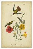 Audubon Mango Hummingbird Art Print