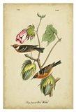 Audubon Bay Breasted Warbler Art Print