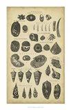 Study of Shells II Art Print