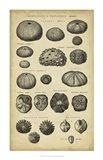 Study of Shells III Art Print