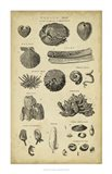 Study of Shells IV Art Print