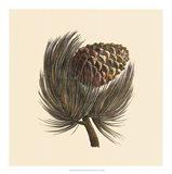 Pignon Pine Art Print
