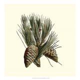 Bordeaux Pine Art Print