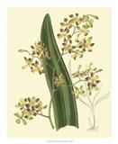 Antique Orchid Study II Art Print