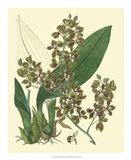 Antique Orchid Study III Art Print