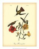 Mango Hummingbird Art Print