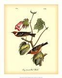 Bay Breasted Wood-Warbler Art Print