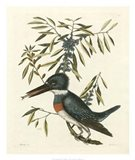 Antique Kingfisher II Art Print