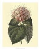 Fragrant Clerodendron Art Print