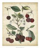Calwer Common Cherry Art Print