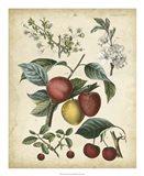 Calwer Cherry Art Print