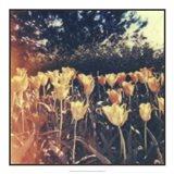 Tulipa Exposta III Art Print