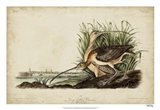 Long-billed Curlew Art Print