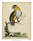 Paradise Parrots VI Art Print