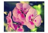 Pink Blossom II Art Print