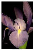 Small Sweet Iris II (U) Art Print