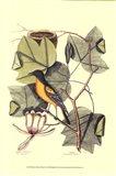 Baltimore Bird and Tulip Tree Art Print