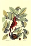 Red Bird and Hiccory Tree Art Print