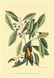 The Carolina Laurus Art Print