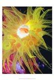 Graphic Sea Anemone II Art Print