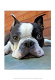 Moxley Boston Terrier Art Print