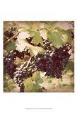 Vintage Grape Vines II Art Print