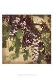 Vintage Grape Vines IV Art Print